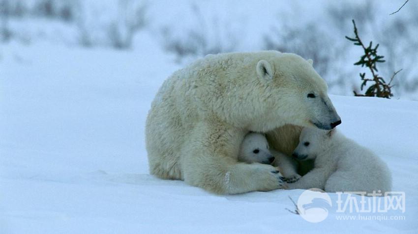 图游加拿大北极熊王国(组图)