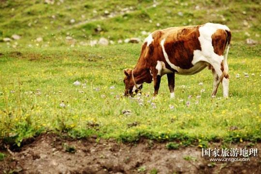 牛在悠闲地吃草