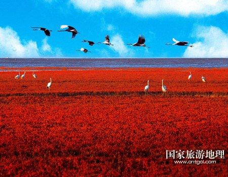 拯救一代人的红海滩 丹顶鹤繁殖的最南限