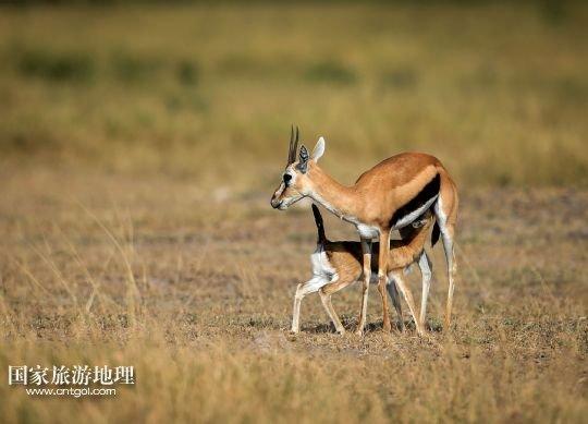 探秘肯尼亚野生动物保护区一年一度的大迁徙(图)