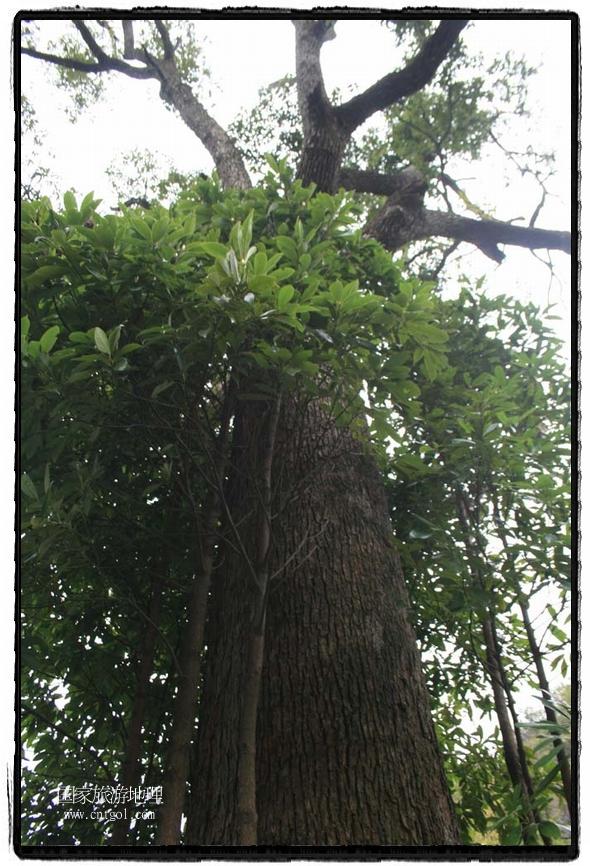 母树周围重生14根仔树 唐探峰摄