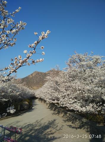 樱花山樱花节在滨州市邹平县樱花山风景区盛大举行