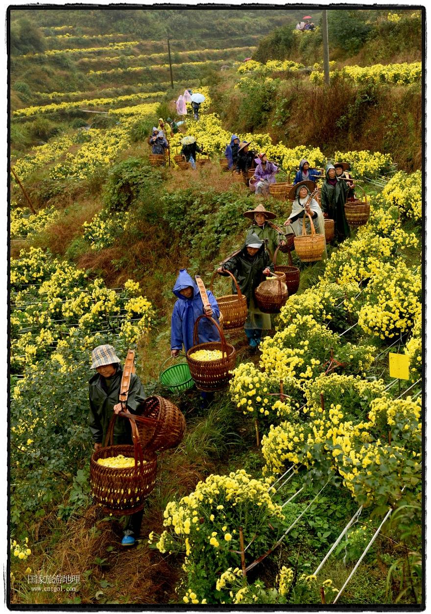 图:2016年11月13日,茶农在婺源县浙源乡察关村在采摘皇菊。