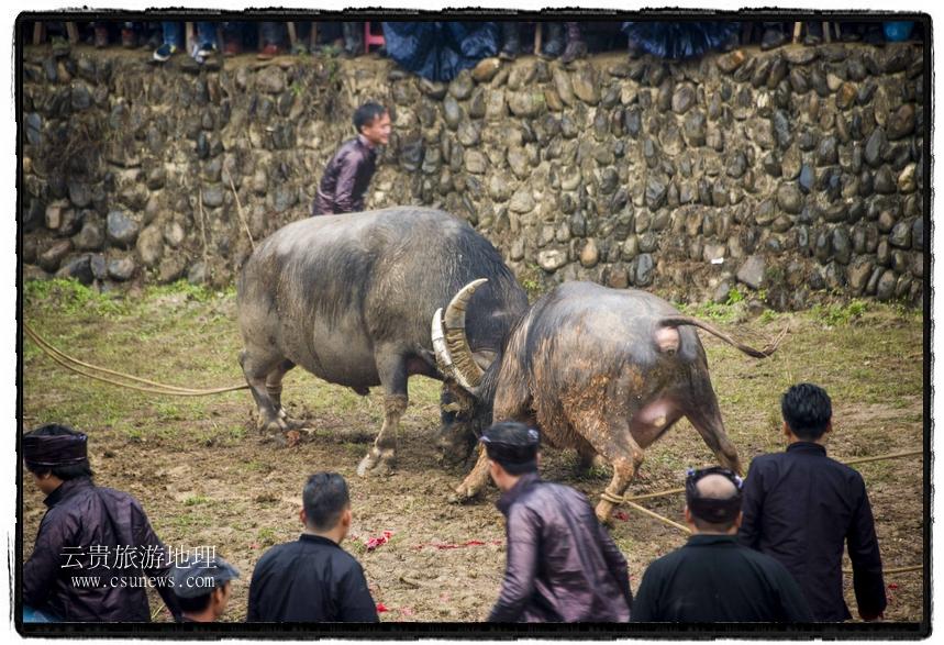 12月19日,在贵州省从江县下江镇巨洞斗牛塘,两头斗牛在打斗。(吴德军摄)