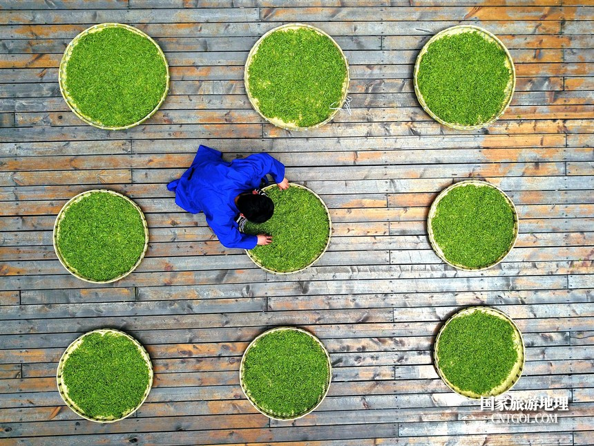 """2018年4月1日,茶农在贵州贵定县云雾镇鸟王村老茶坡茶园内展示""""云雾贡茶""""鲜叶。"""