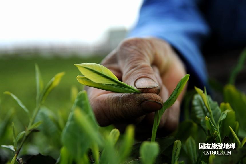 2018年4月1日,茶农在贵州贵定县云雾镇鸟王村老茶坡茶园采摘云雾贡茶。