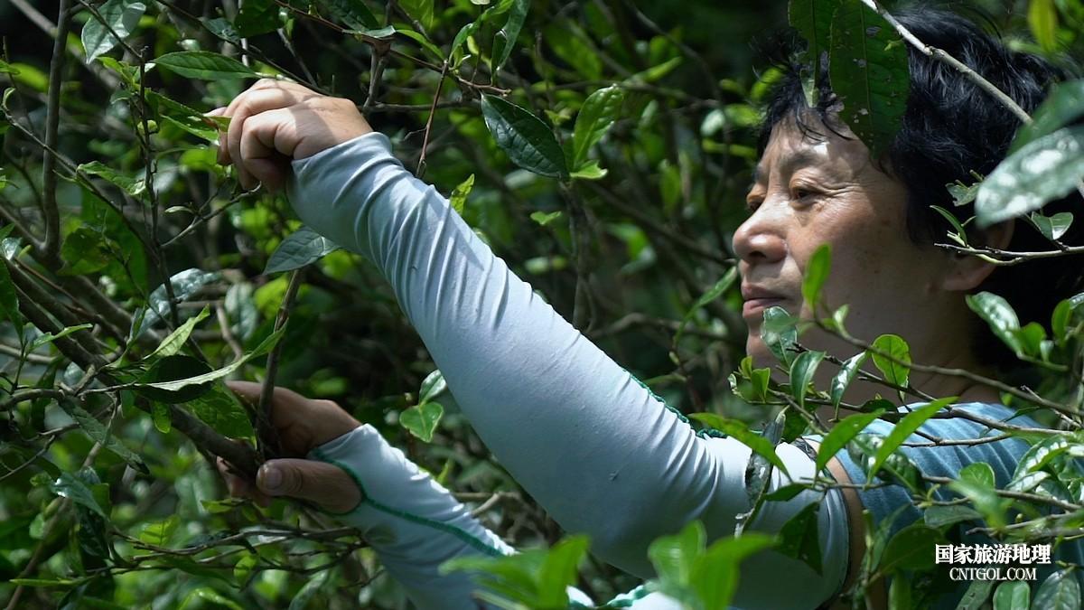 原生态山林里采摘野生茶树鲜叶
