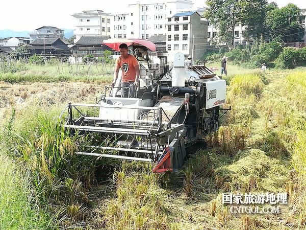 贵州黎平县洪州镇又到一年秋收季(图)