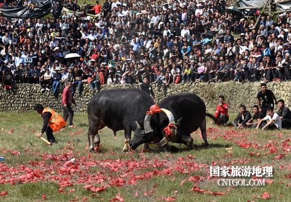11月3日,贵州省从江县下江镇巨洞斗牛塘40头牛王争霸,图为两头牛王互不相让。