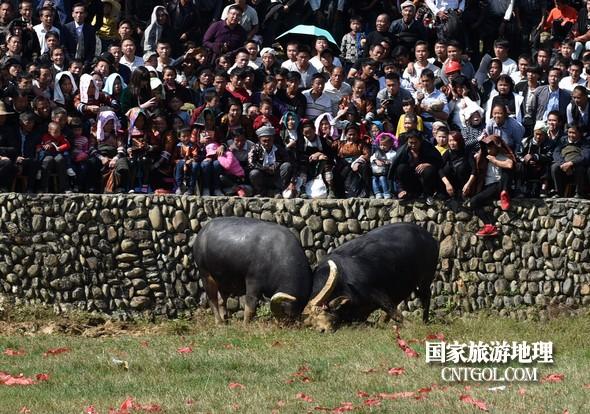 2018年11月3日,贵州省从江县下江镇巨洞斗牛塘40头牛王争霸,图为两头牛王正在搏斗。(龙梦前摄)