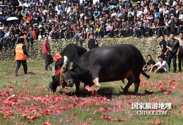 2018年11月3日,贵州省从江县下江镇巨洞斗牛塘40头牛王争霸,图为一头牛王被控制住了。(龙梦前摄)