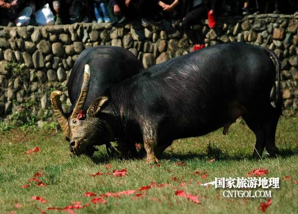 2018年11月3日,贵州省从江县下江镇巨洞斗牛塘40头牛王争霸,图为一头牛王被控制了。(龙梦前摄)