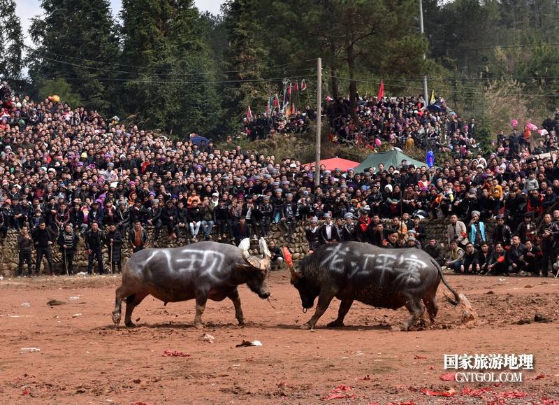 人们在贵州省从江县高增乡岜扒村斗牛塘观看传统闹春耕斗牛活动,两头牛王正在激烈相碰(龙梦前摄)