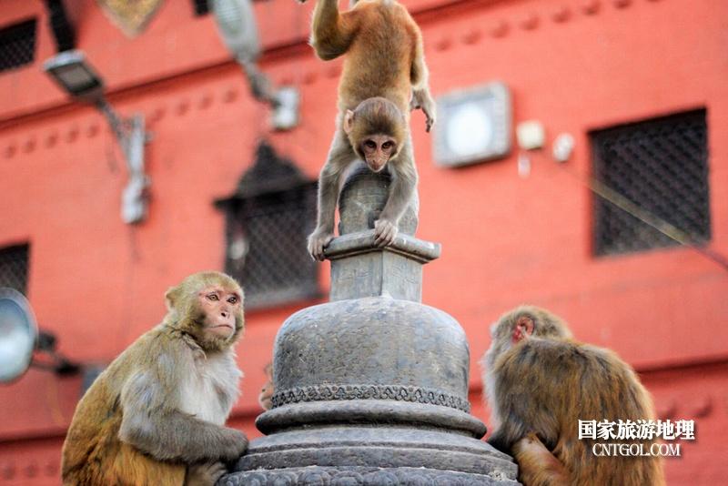 """""""人文天堂""""加德满都/斯瓦扬布寺(猴庙)猴子们"""