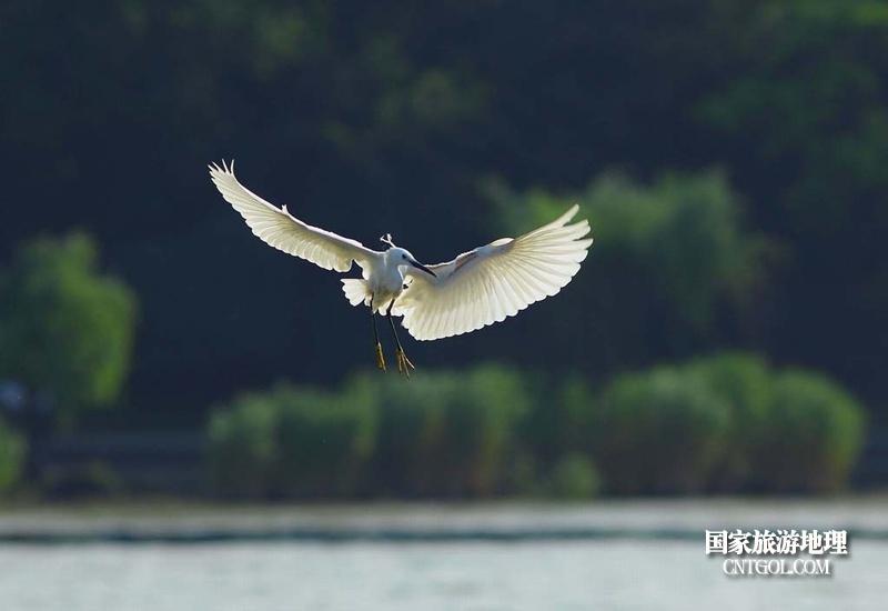 太湖小白鹭在飞翔