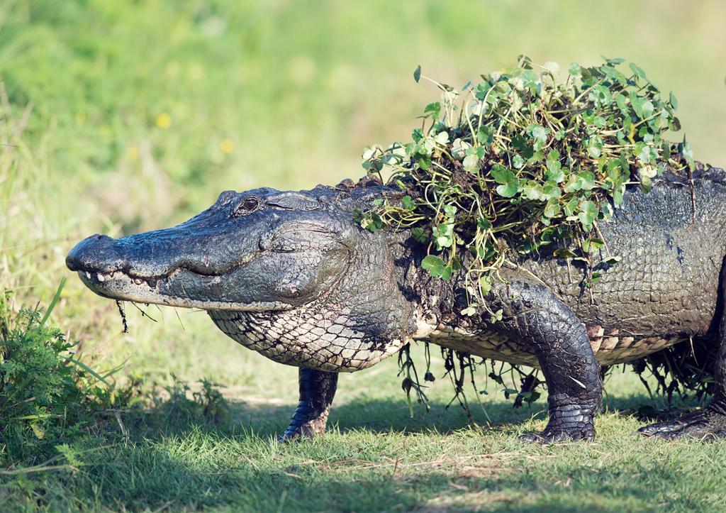 佛罗里达海滨度假天堂/刚从水中爬出来的大鳄鱼