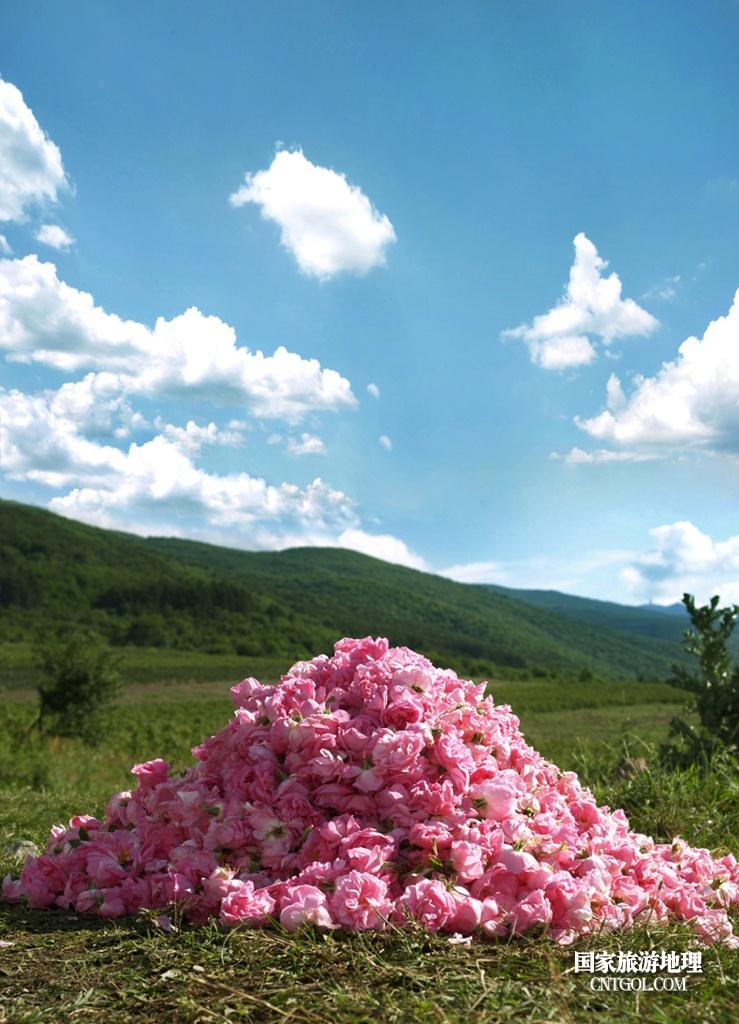 在那玫瑰花盛开地方保加利亚/采集的玫瑰花