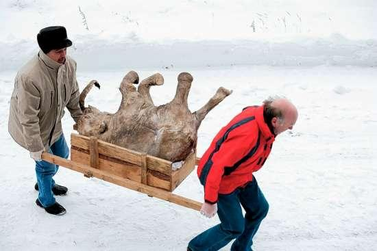 4万年前完好猛犸被重新埋进雪地防解冻(组图)