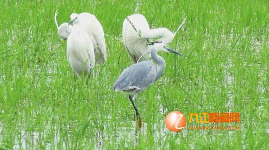 鄱阳湖首现变异小白鹭