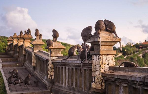 印尼猕猴偷窃财物竟要挟游客用食物换回
