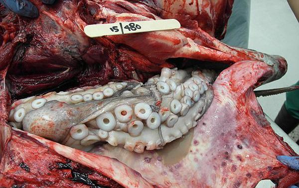 有勇无谋!澳海域一海豚捕食章鱼竟被憋死