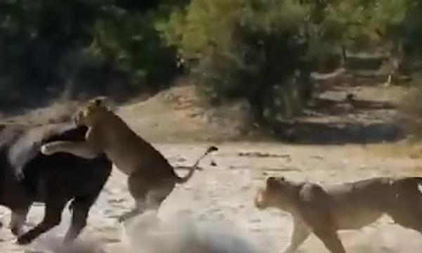 博茨瓦纳一水牛被狮群围攻幸获牛群援救成功脱身