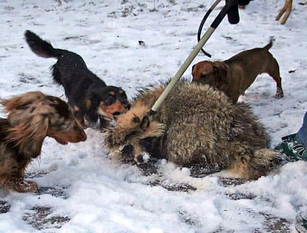 """残忍!俄""""诱饵站""""用野生动物引诱训练猎犬"""