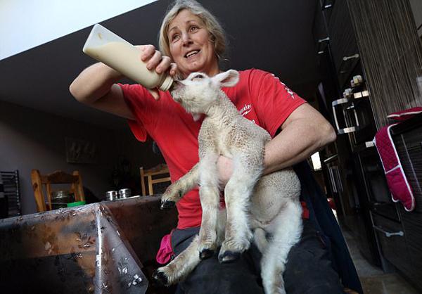 英5条腿畸形小羊被母亲抛弃 幸获主人宠爱