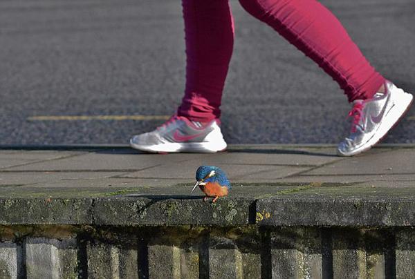 英国一翠鸟进城觅食淡定立水边无视身后过往车辆