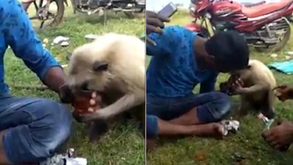 印度游人野餐引来猴子 给酒就喝动作娴熟令人惊奇
