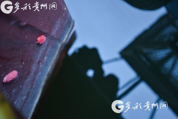 入侵物种福寿螺清理工作进行中 市民见到这种粉色卵块可举报