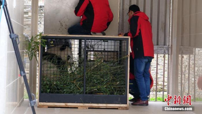 """首对""""海归""""大熊猫双胞胎回到中国大熊猫保护研究中心_最新林业信息"""