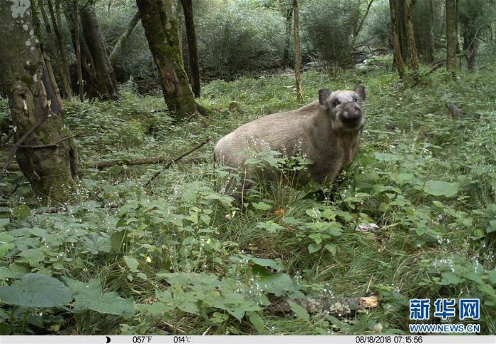 甘肃白水江国家级自然保护区:野生动物种群稳中有升_最新林业信息