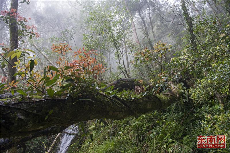 龙岩:穿越千年红豆杉古树群 领略原始森林谧境