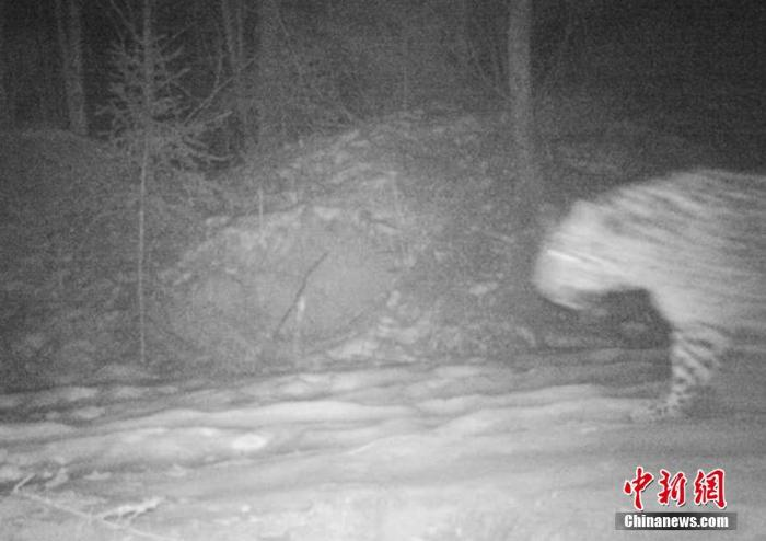 吉林天桥岭首次拍摄到野生东北豹实体影像_最新林业信息
