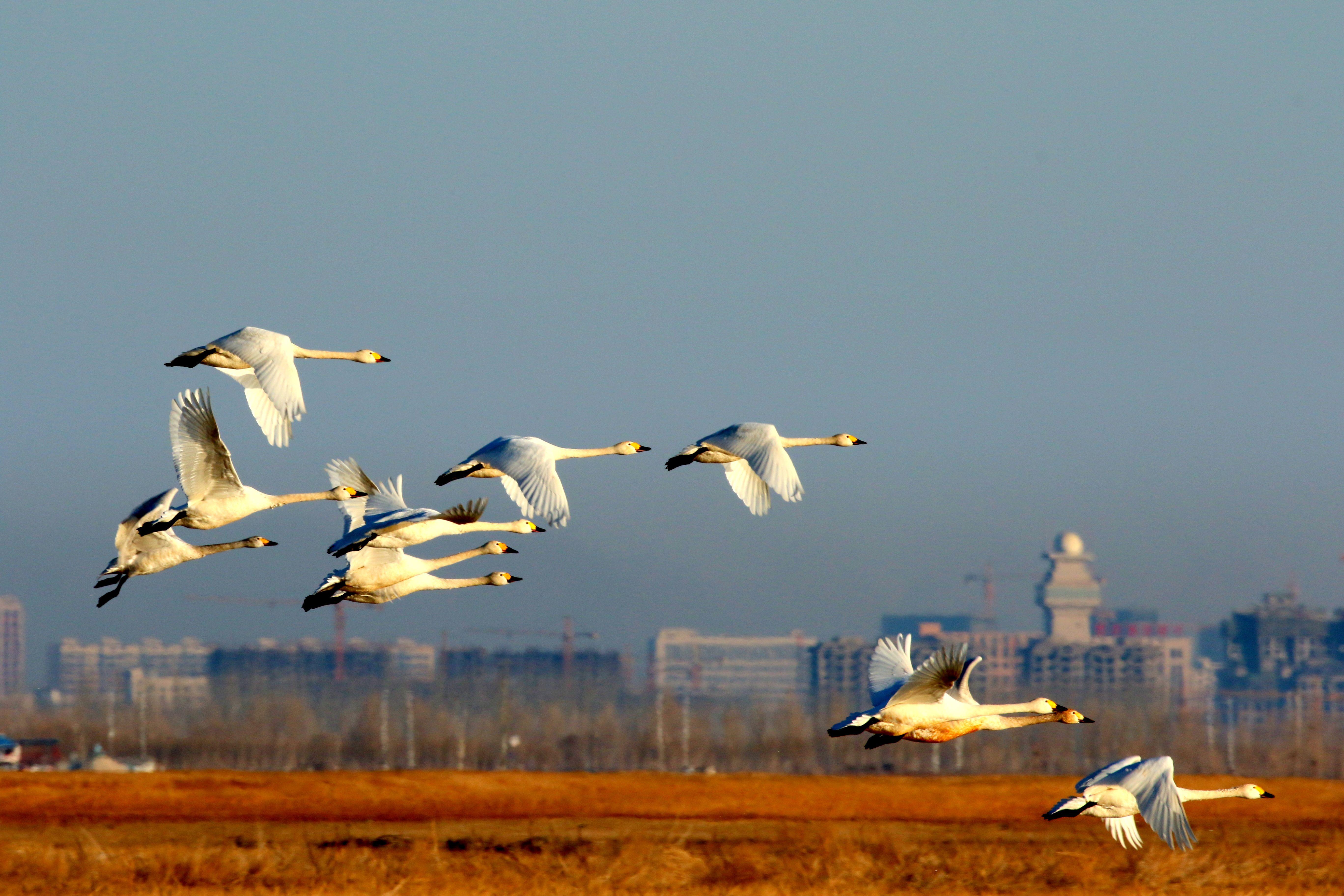大天鹅 周玉峰 摄于临河黄河湿地公园