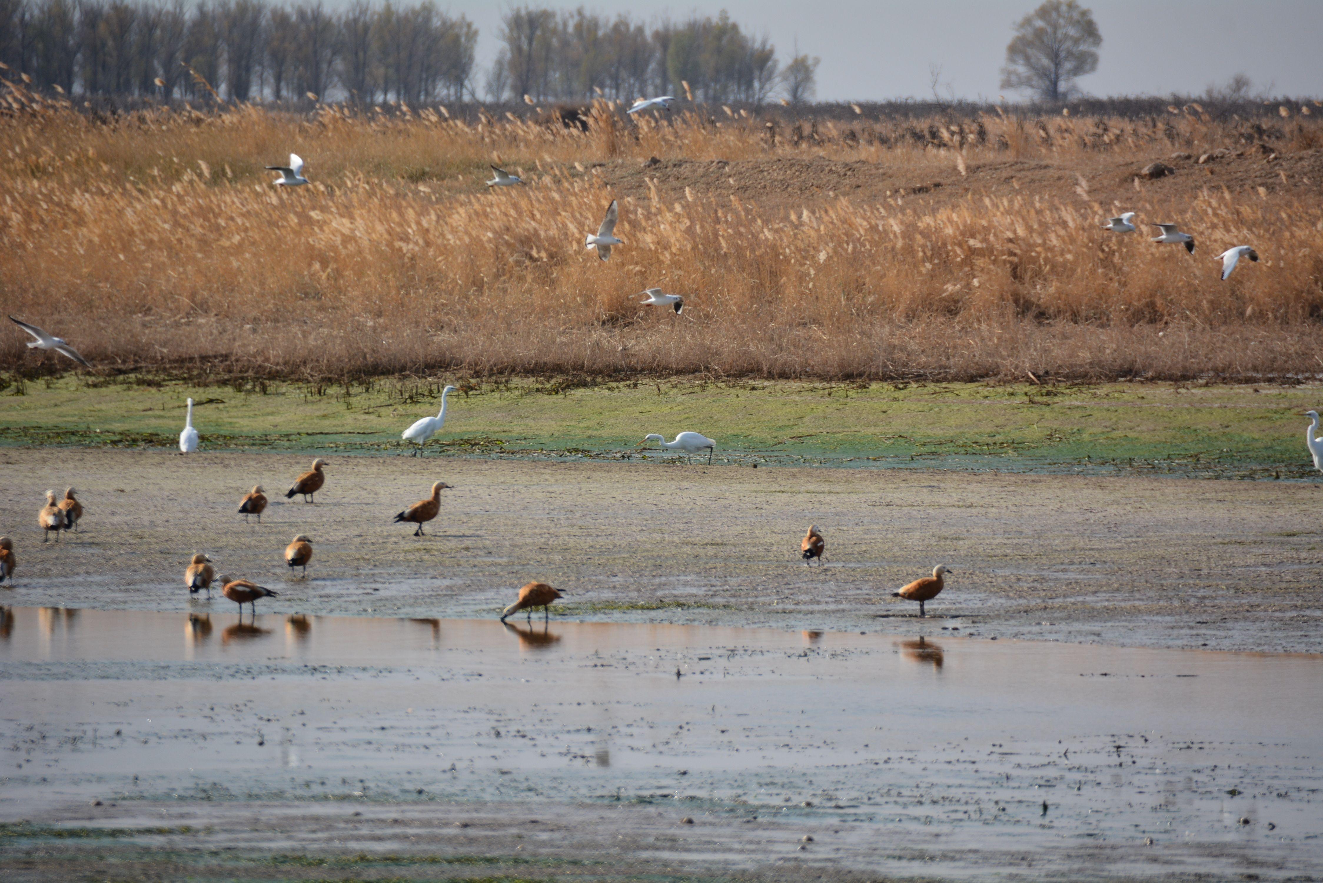 黄河湿地鸟类