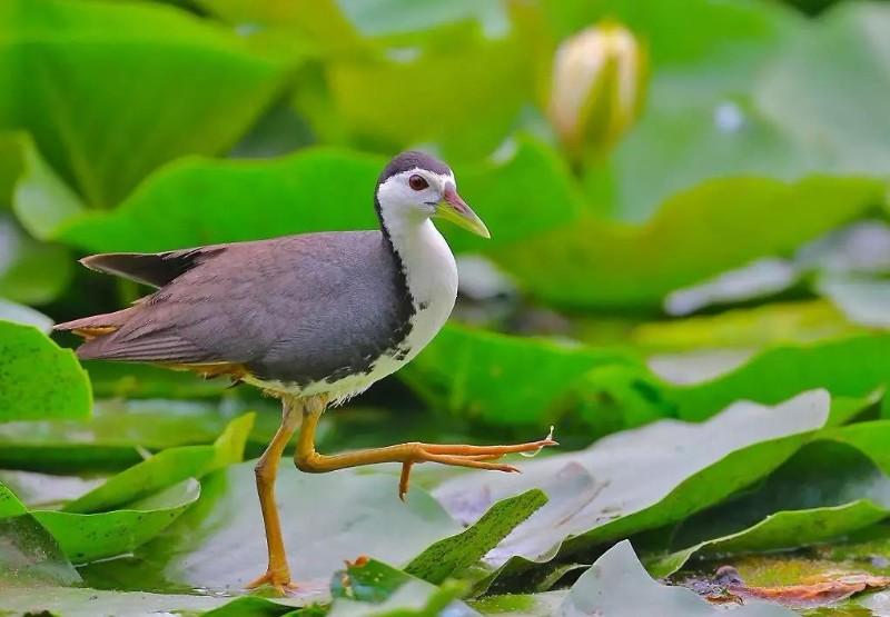 西溪湿地鸟类科普:三十五期白胸