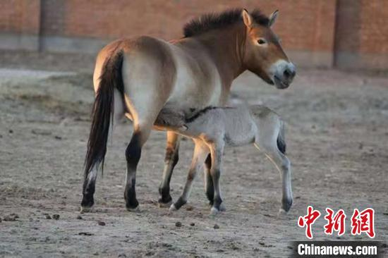 >>新疆野马繁殖研究中心三匹野马被认养_最新信息