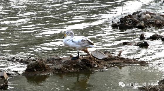 暖心!三门峡多部门联动抢救受伤白昼鹅
