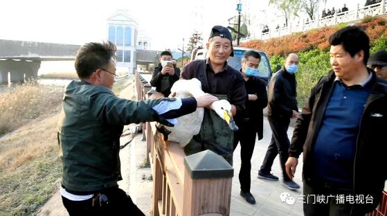 暖心!三门峡多部门联动抢救受伤白天鹅