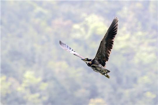 """广东再次监测到""""世界上最神秘的鸟""""——海南虎斑鳽"""