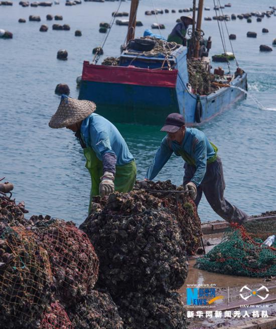 福建诏安:晴日赶海收牡蛎
