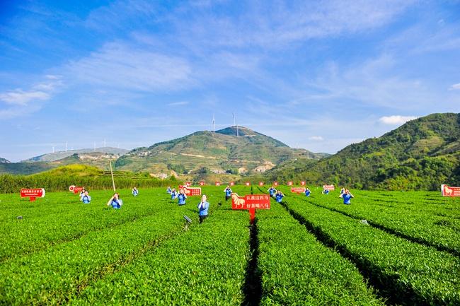 茶企八马茶业的红星茶场喊山开茶(安溪县委宣传部供图)