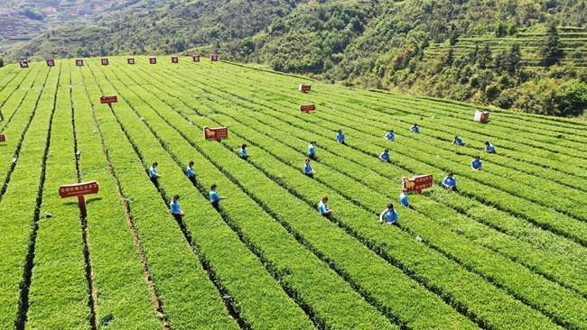安溪铁观音2020春茶开采(安溪县委宣传部供图)